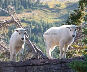 MPL-GP-09008-Mountain Goat Babies