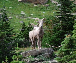 MPL-GP-09009-Big Horn Sheep