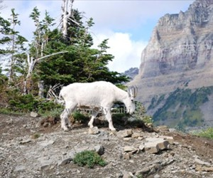 MPL-GP-09011-Mountain Goat