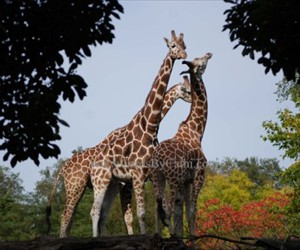 MPL-WA-09007-Three Giraffes